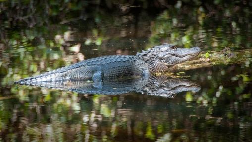 alligator, swamp, photography