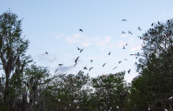ibis, bird roost, Big Cypress