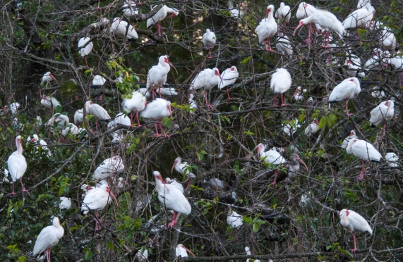 Closeup of Ibis Roost